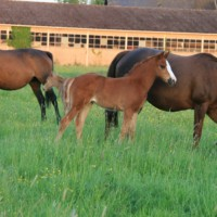 Invention Risloise foal femelle